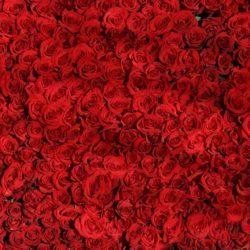 rose-374318_1920